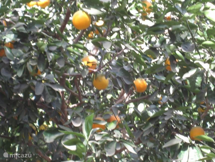 Verschillende soorten sinasappels , madarijnen , grapefruit , mango , guave ,avocado , papaya.
