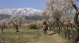 Paardrijden rond het huis in maart als de Amandelbloesem bloet.