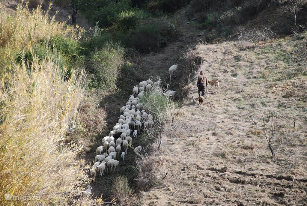 Herder met schapen wandelen langs de rivier