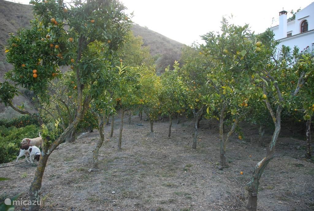 De sinaasappelboomgaard, vanaf april pluk je hier heerlijke sinaasappels, mandarijnen en citroenen