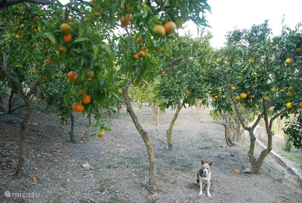 Mandarijnen en limoenen