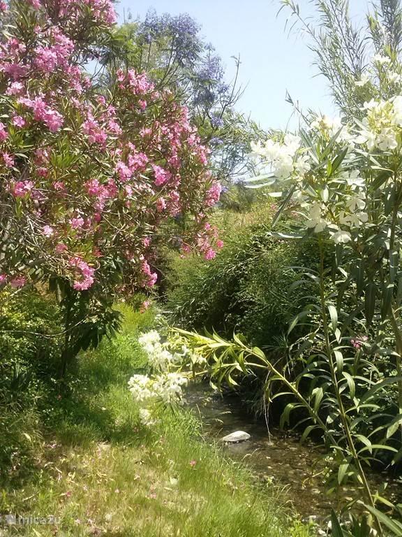 Wilde oleanders bloeien in de zomer langs het riviertje