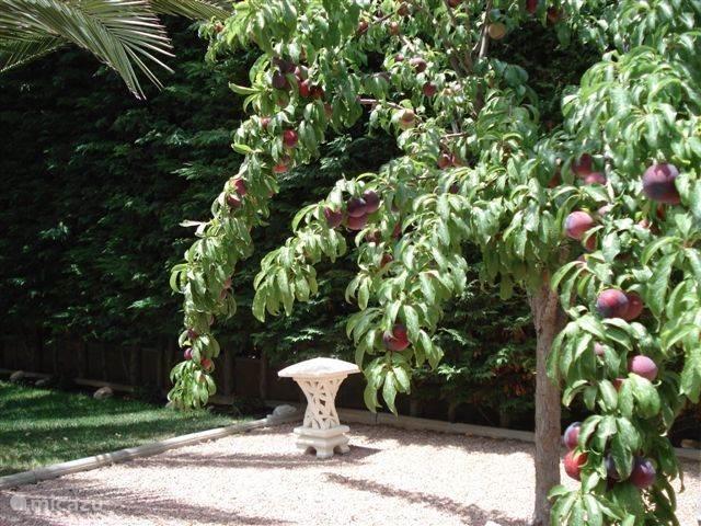 Er is een kleine fruittuin, waar de vruchten voor eigen gebruik van de eigenaars groeien, maar ook voor de vogeltjes een lekkernij zijn. Soms zijn deze takken zo vol met pruimen dat ze helemaal op de grond hangen.