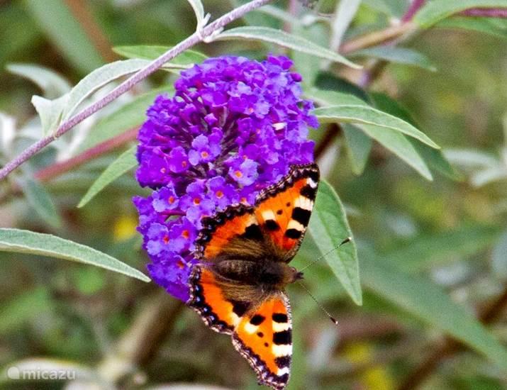 Veel vlinders op en rond vlinderstruiken in eigen tuin