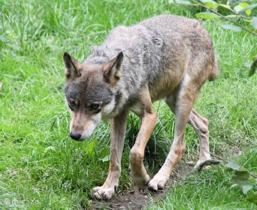 Wildpark Knüll: ruim wandelpark met beren, wolven, bisons en hoge uitkijktoren.