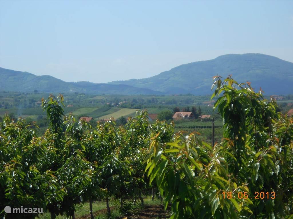 Villa Vinca ligt ginder in de verte in het midden van de foto. Op de voorgrond is de nectarine-plantage. Op de achtergrond is de uitloper van het Rudnik-gebergte, waar wandelaars verkoeling kunnen vinden op 1100m hoogte.