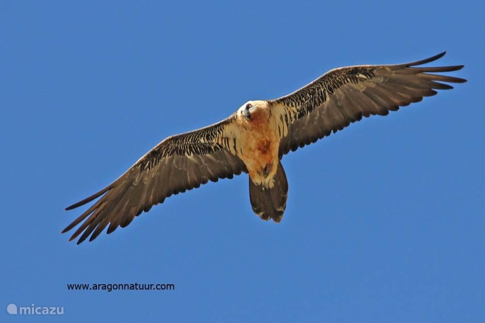 De zeldzame lammergier vliegt soms over Sipán.