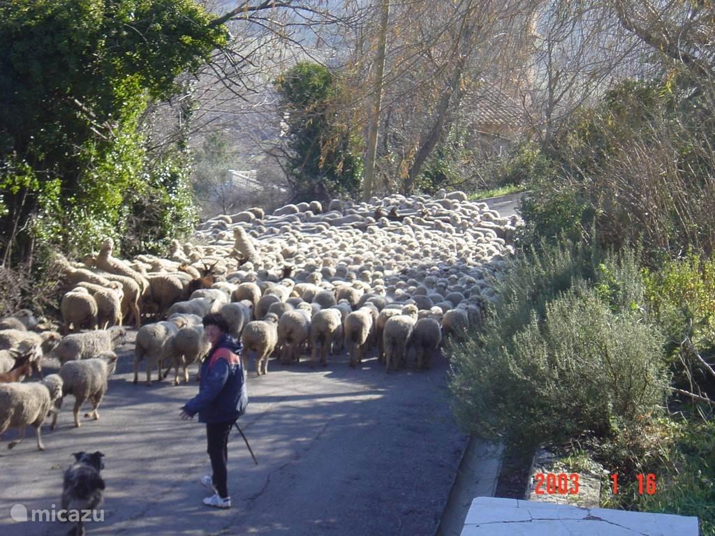 Schaapherders trekken met hun kudde door het dorpje