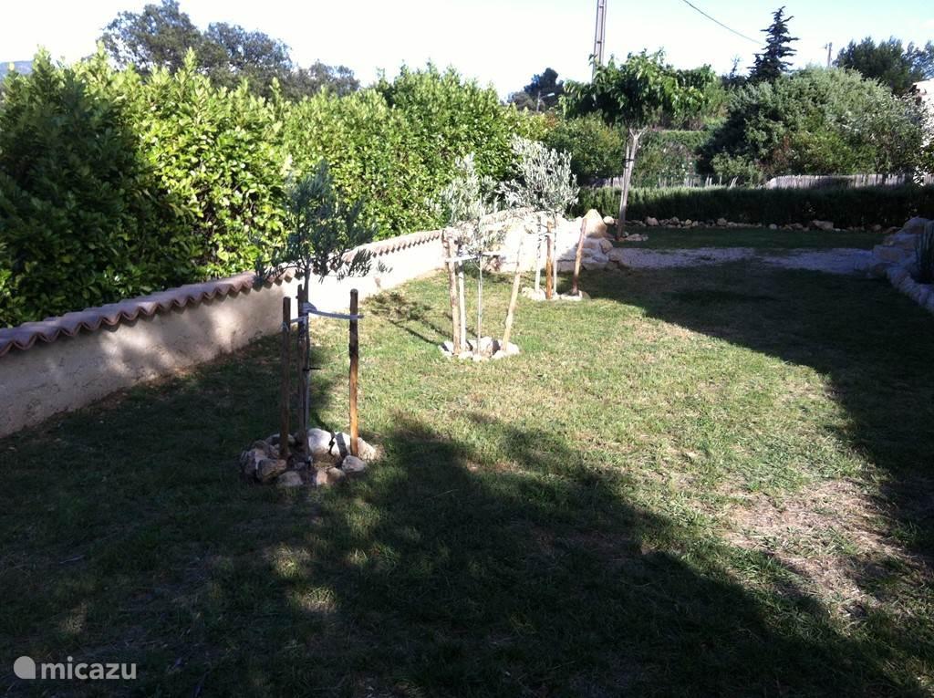 Olijfboompjes achter in de tuin