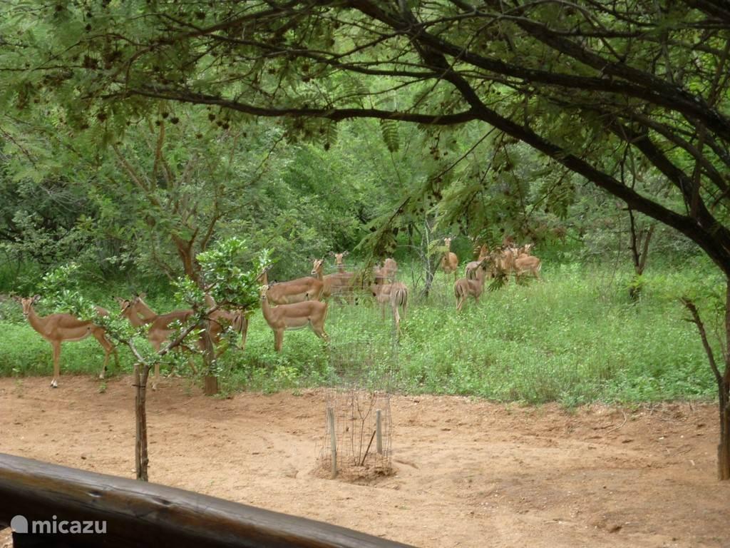 Een kudde impala's op bezoek voor de veranda.