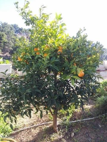 Naranja's: verse sinasappels in de tuin!