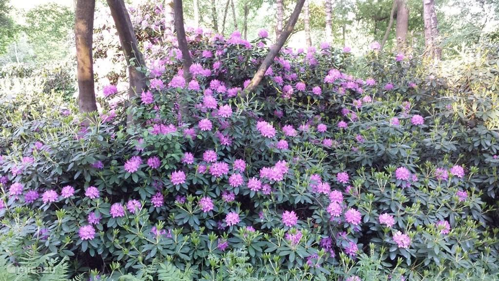 Geniet in het voorjaar van de Rododendrons in de voortuin. Typerend voor het Landgoed Vilsteren waarop de woning zich bevind.