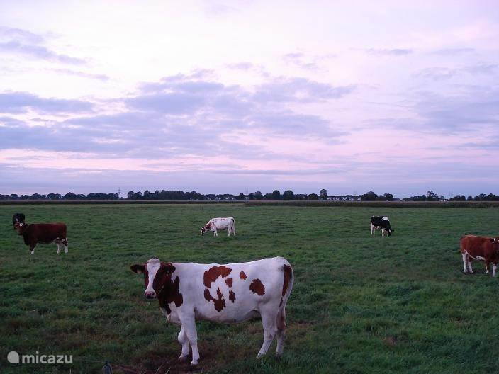 Zo af en toe komen de koeien van de buren even kijken.