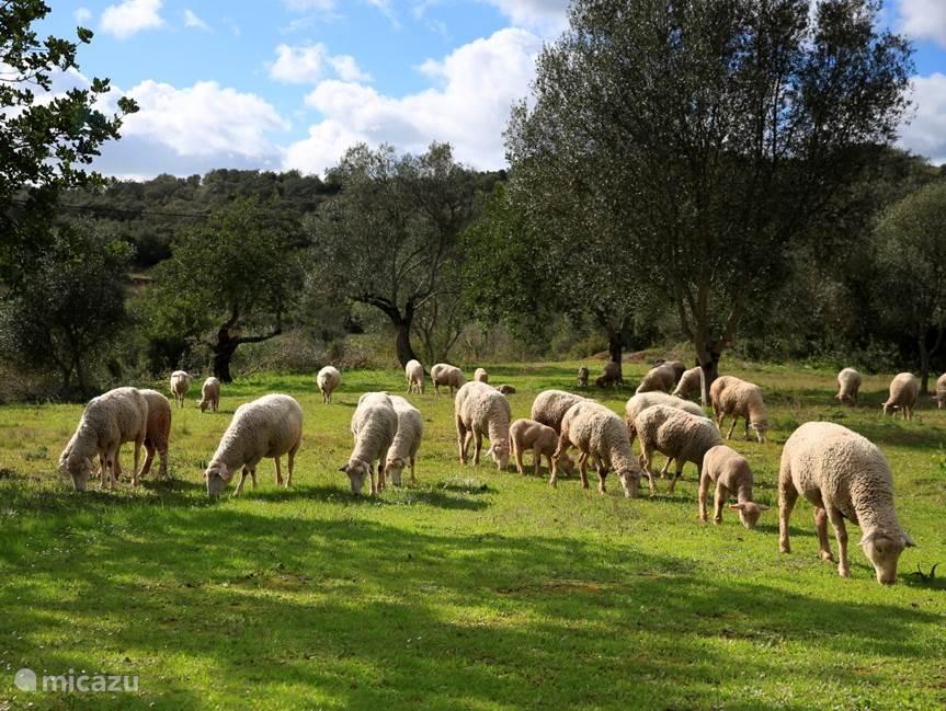 Lokale schaapherder met zijn kudde