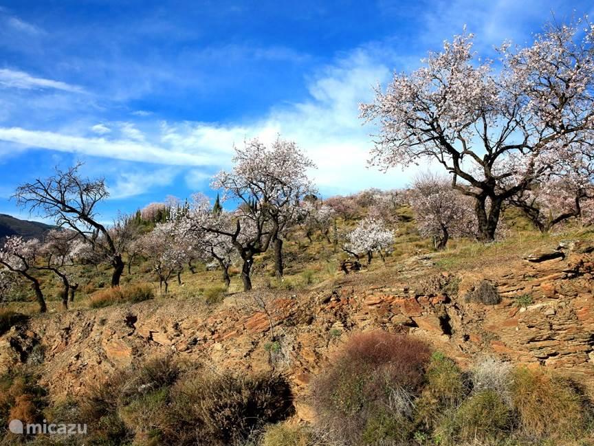 Amandelbomen in bloei in februari
