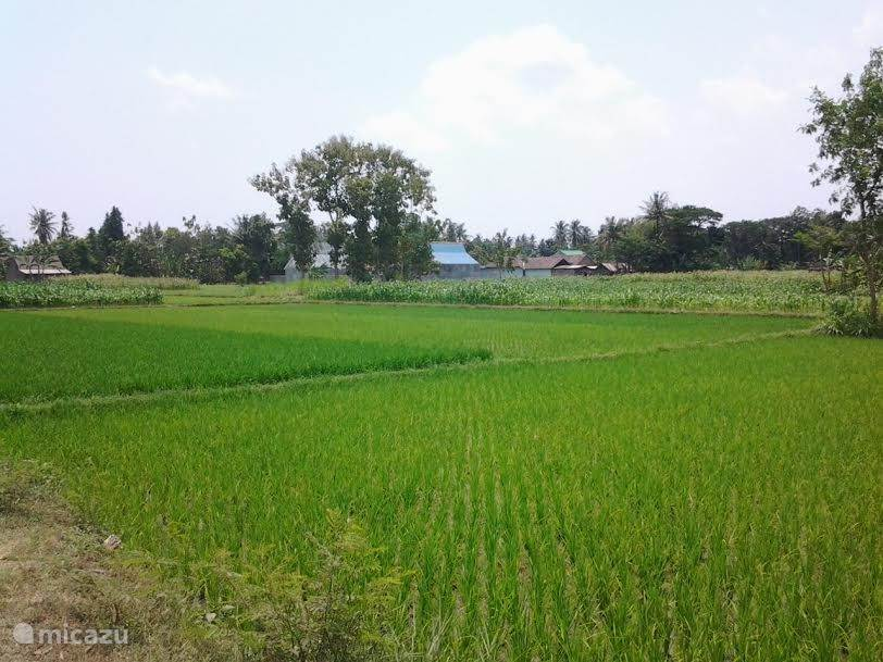 in the middle of rice fields