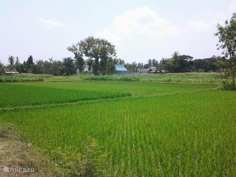 midden in de rijstvelden