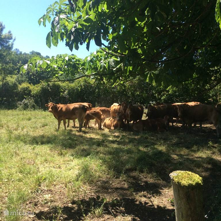 In the adjacent meadows runs a herd of Limousin cows with small calves.