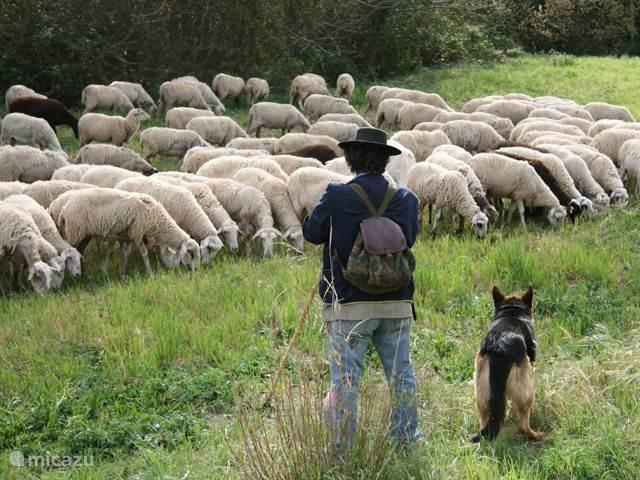 Op het land komt er een herder langs met schapen of paarden