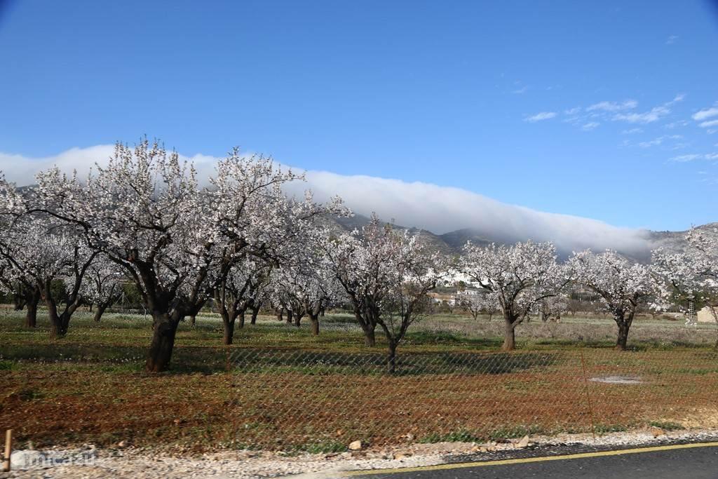 Amandelbloesem in het voorjaar.