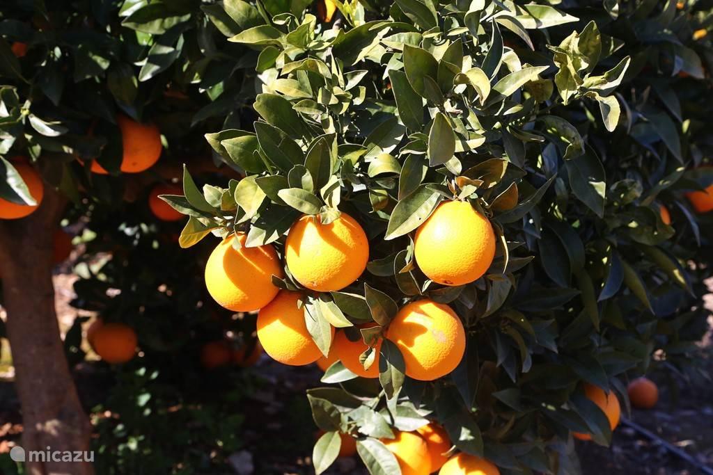 Overvloed aan lekkere sinaasappels in de omgeving.