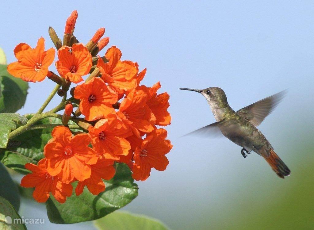 Dankzij de prachtige bloemen in de tuin, hebben we veel bezoekers.   Kolibri's zijn hier altijd wel van een lekkere bloem aan het snoepen.