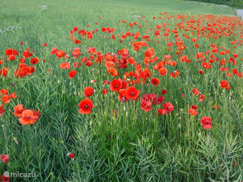 Poppies along the fields
