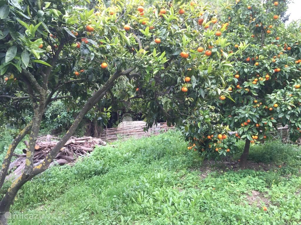 Sinaasappelbomen in tuin