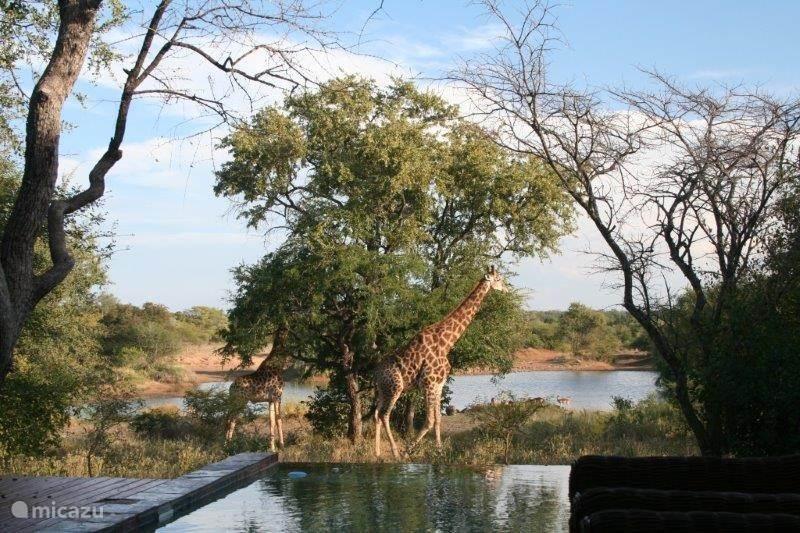 Giraffes bij het zwembad