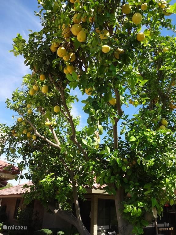 Pluk gerust uw eigen citroenen!