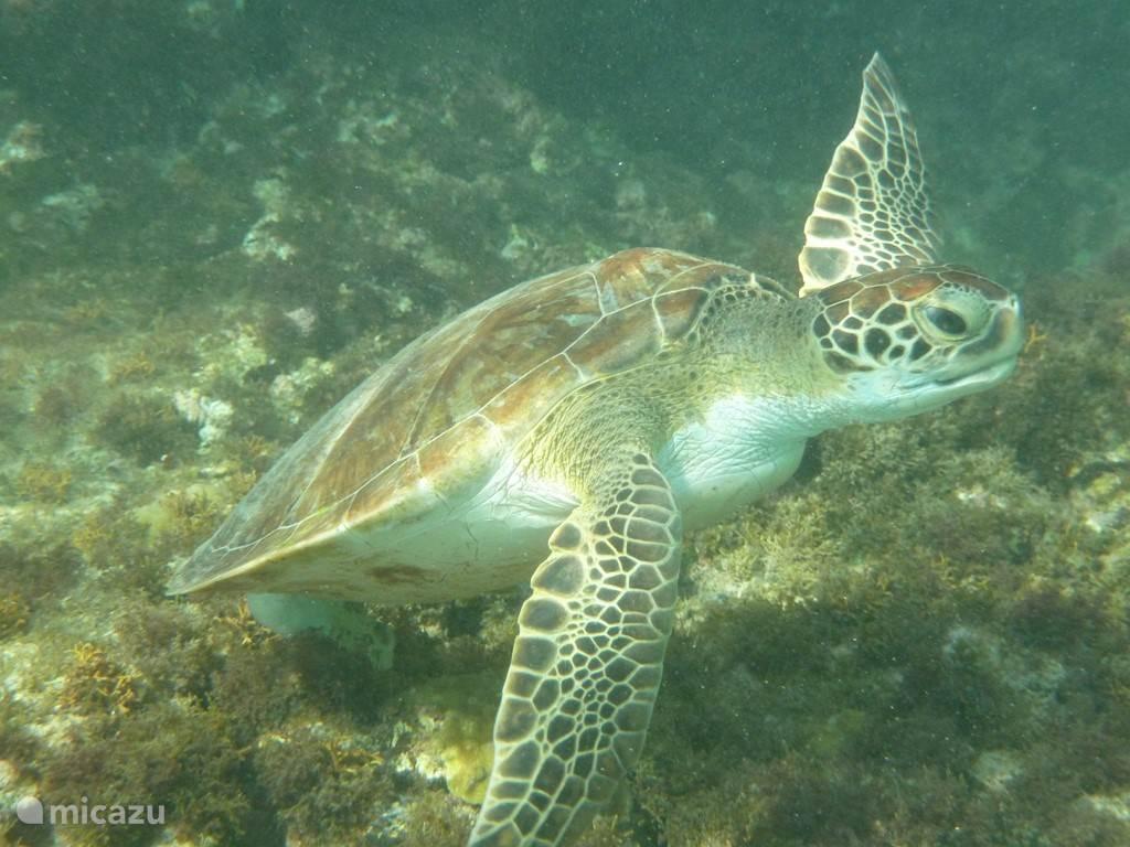 De huisschildpad van Lagun.