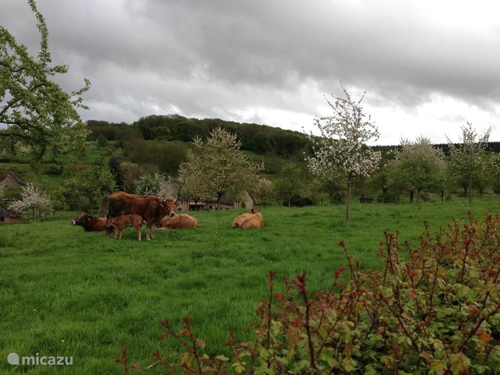 De koeien van de buren.