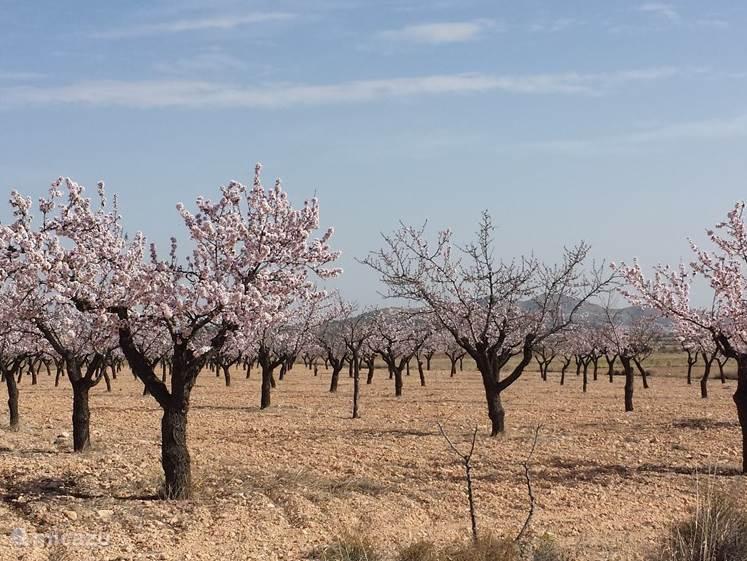 Een amandelboomgaard in het voorjaar