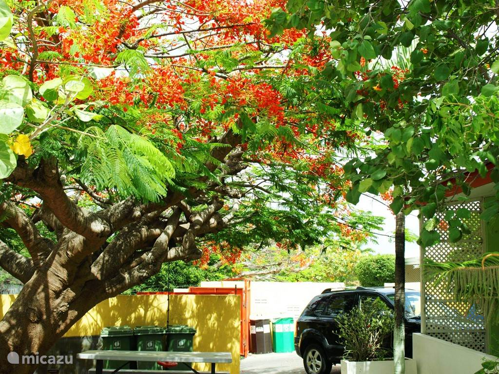 Picnic under the Flamboyan tree. This is in bloom during the months of June to August.