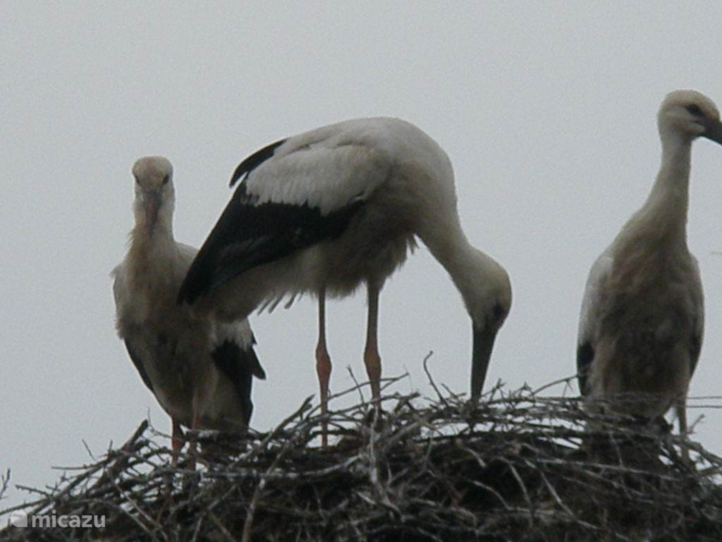 Storks in the village