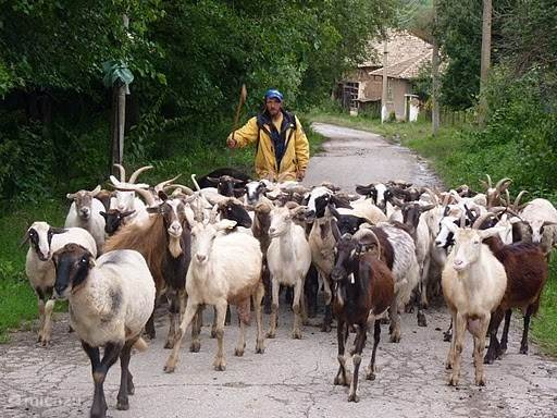 Herder komt twee keer per dag langs