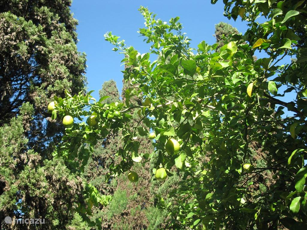 de citroenboom