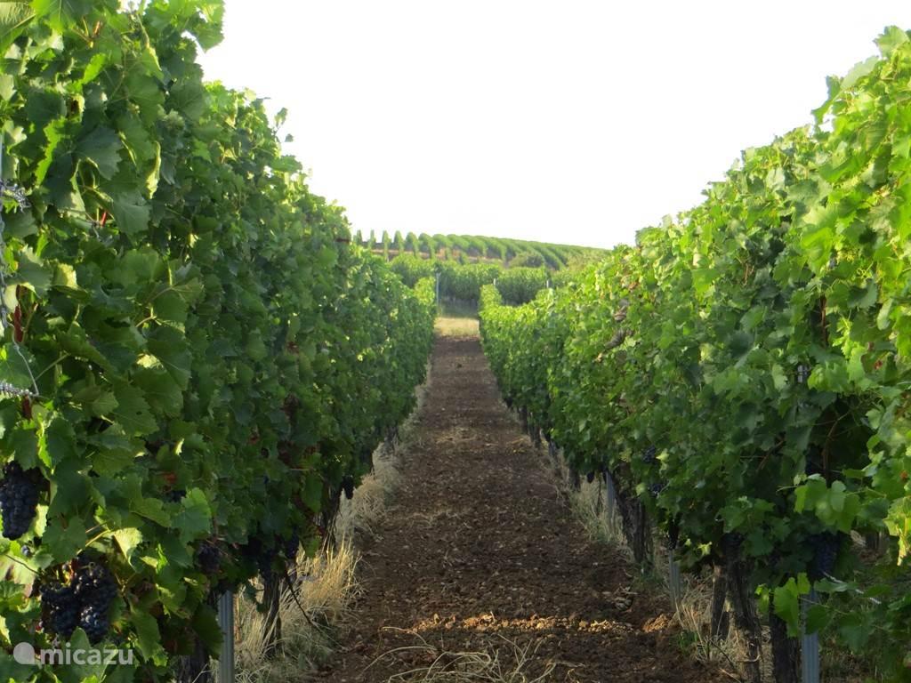 de wijnvelden