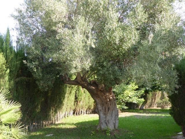 Hele oude olijfboom. Prachtig.