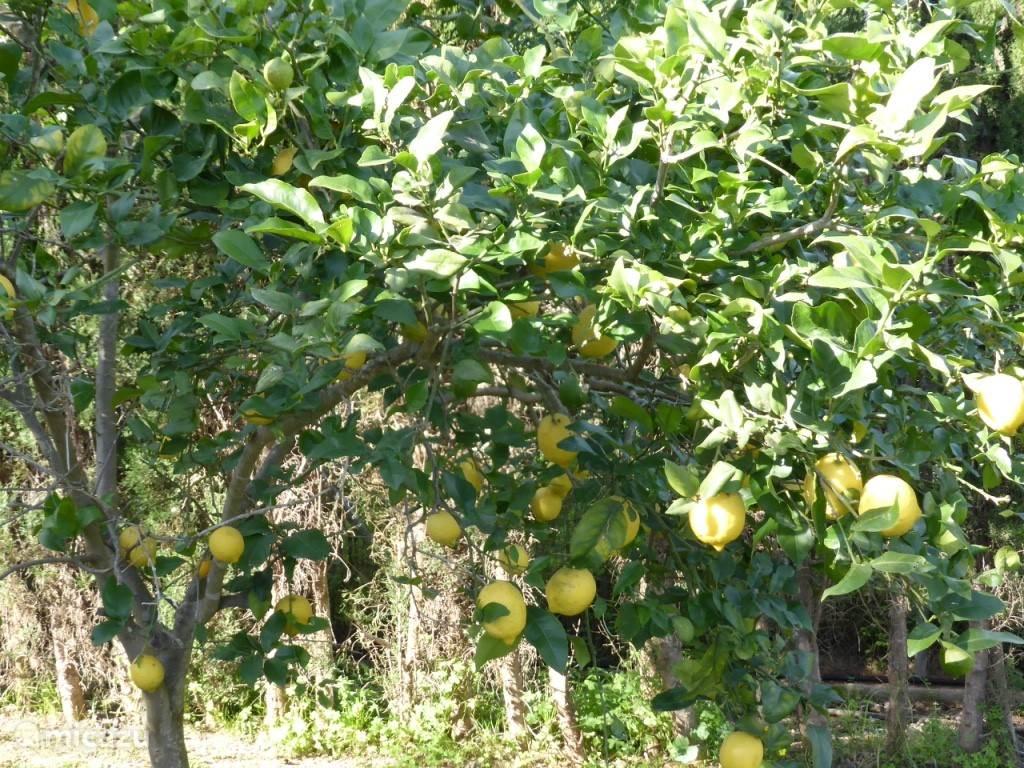 Citroenboom in de tuin