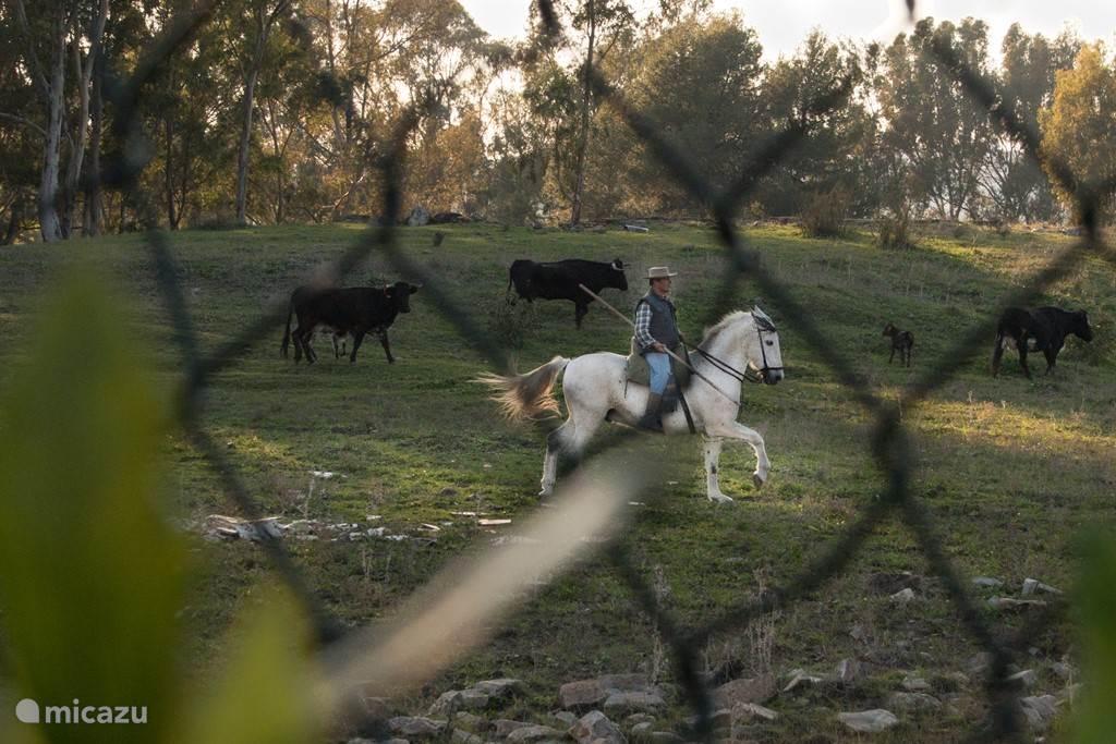 Een spaans authentiek plaatje in onze achtertuin. De herder passeert tegen de avond met zijn kudde ons huis.