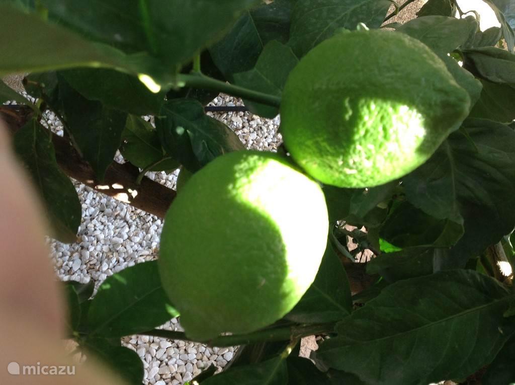 Ssstttttt... hier rijpen de citroentjes ...!