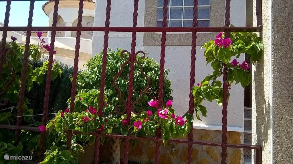 De paarse bougainvillea is aan zijn opmars begonnen en is stilletjesaan het hekwerk aan het inpalmen wat zorgt voor privacy.