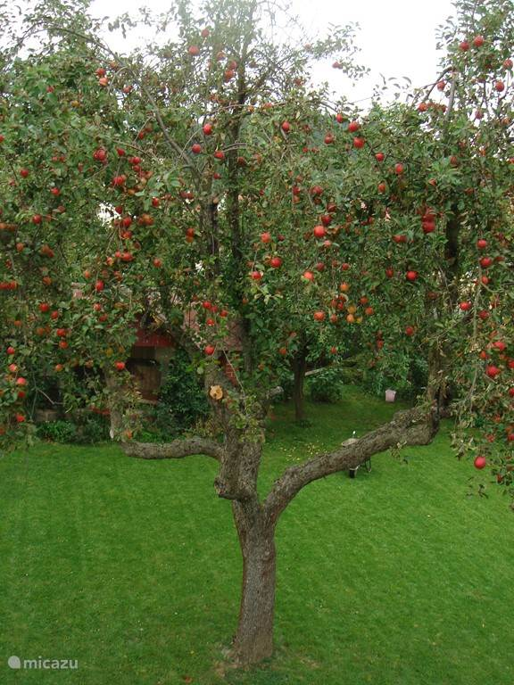 Autumn in the backyard, the apples are ripe.
