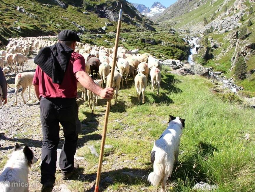 Schaapherder in de bergen