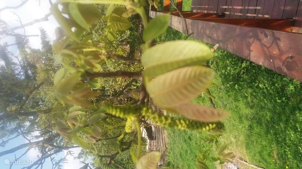 Beginstadium van groei walnoten.