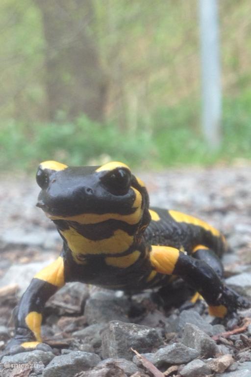 Deze Vuursalamander kunt u bij mooi weer en in de buurt van water volop in de Harz tegen komen.