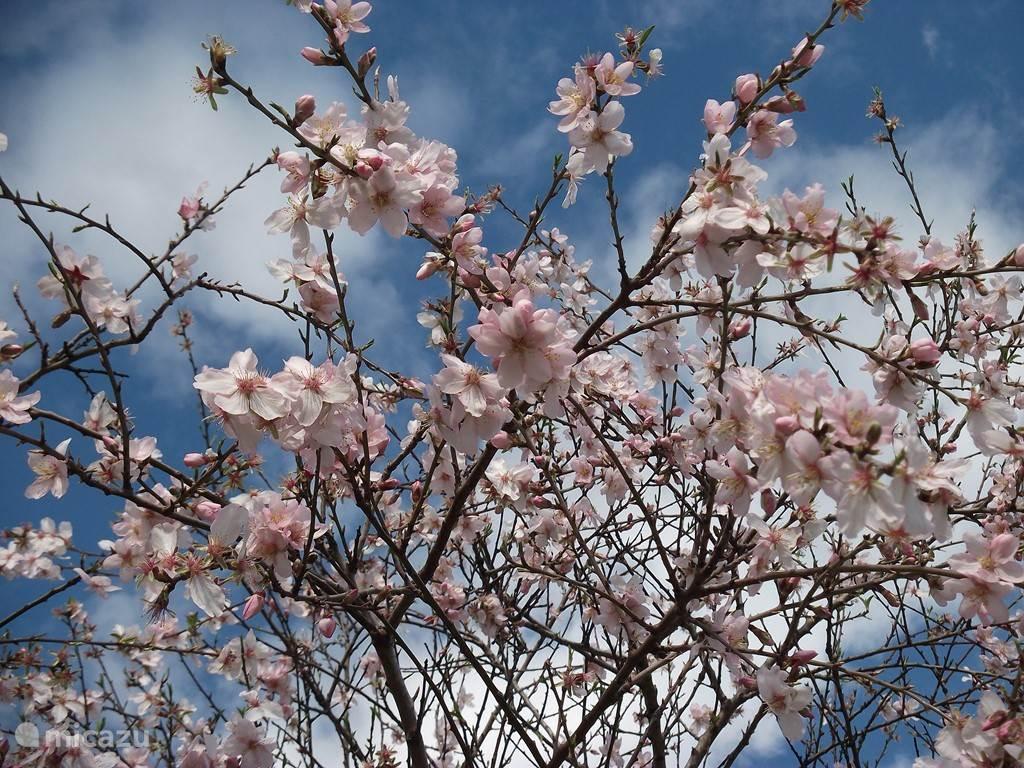Amandels in bloei, voorbode van het voorjaar