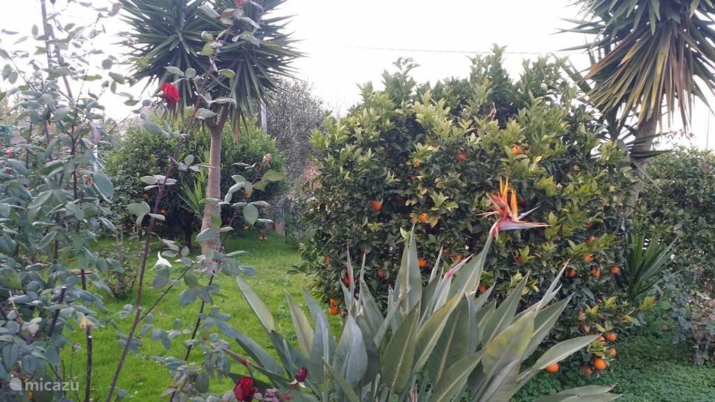In de tuin beneden groeien de sinaasappels en mandarijnen 2 x per jaar
