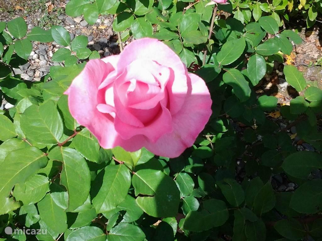 Onze mooie rozen.